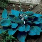 Bressingham Blue Hosta
