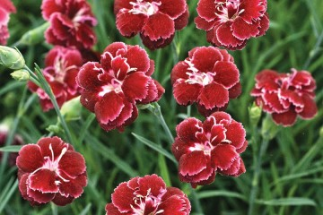 dianthus-black-cherry-wild(1)
