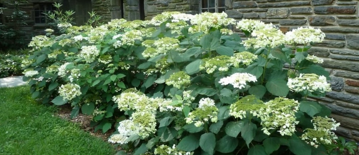 Gorgeous natural foundation planting, Hydrangea arborescens 'Hass' Halo' offers a lovely new landscape and garden shrub for zones 3-9.