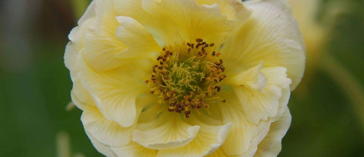 Lovely pale yellow to cream new Geum Gimlet from the Cocktail Series.