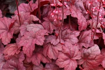 Early season color of Heuchera Grape Soda