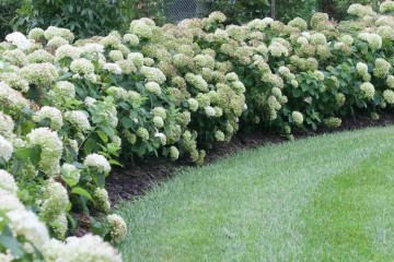incrediball_hydrangea-hedge