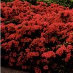 Red Mollis Azalea