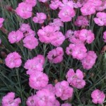 Cottage Pinks (Dianthus 'Tiny Rubies;)