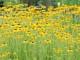 yellow-polkadot-bikini-rudbeckia